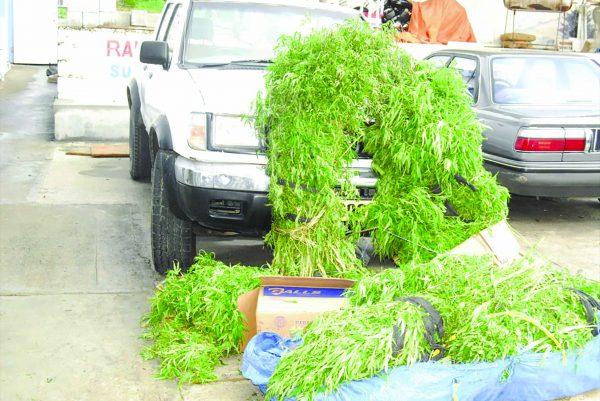 Police-marijuana-plant-haul-4-2011