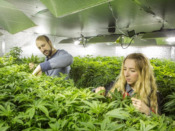 Cannabis farmers in Washington state tend to their plants